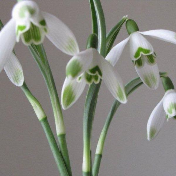 Galanthus 'Viridapice' (Green Group)