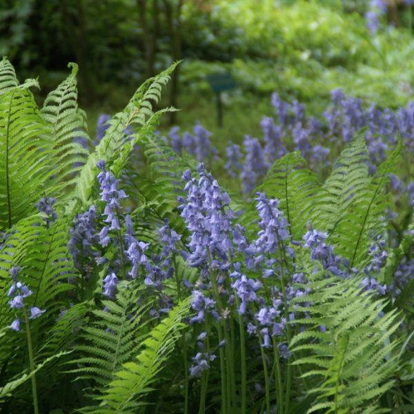 Hyacinthoides hispanica -blauw-