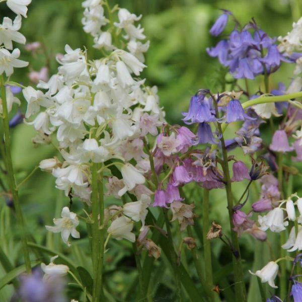 Hyacinthoides hispanica -gemengde kleuren-
