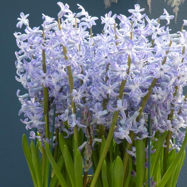Hyacinthus orientalis 'Blue Festival'