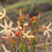 Ixia paniculata 'Eos'