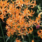 Lilium 'Orange Marmelade'