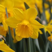 Narcissus ' Sint Victor'