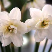 Narcissus 'Albus Plenus Odoratus'