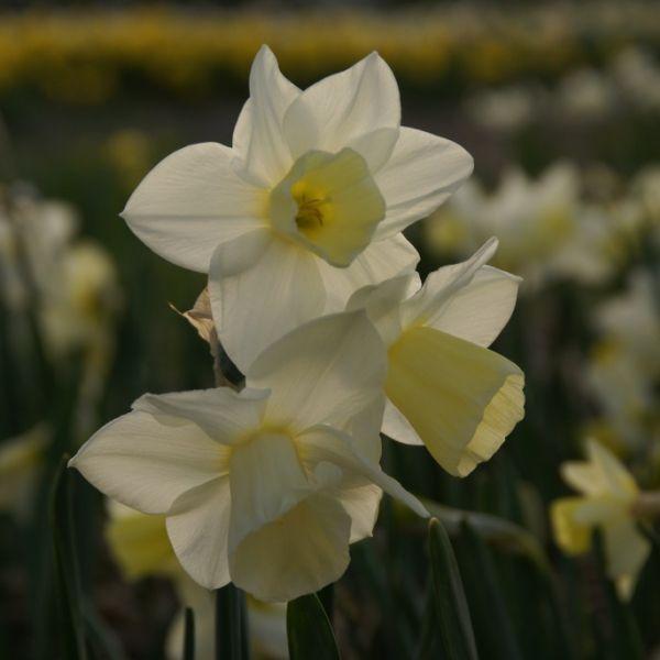 Narcissus 'Curlew'