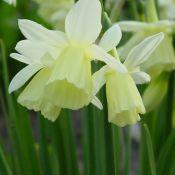 Narcissus 'Dutch Lemon Drops'