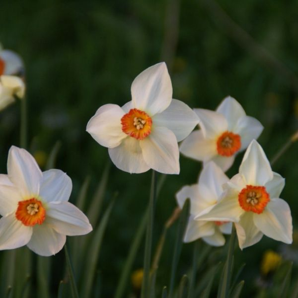 Narcissus 'Firetail'
