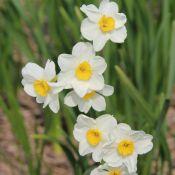 Narcissus 'Laurens Koster'
