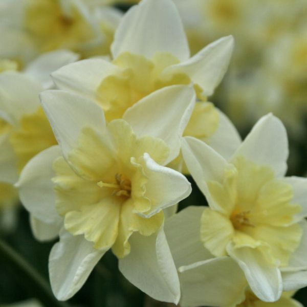 Narcissus 'Prom Dance'