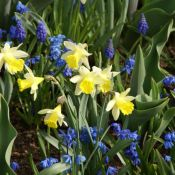 Narcissus 'Topolino'