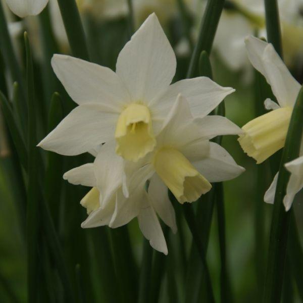Narcissus 'Toto'
