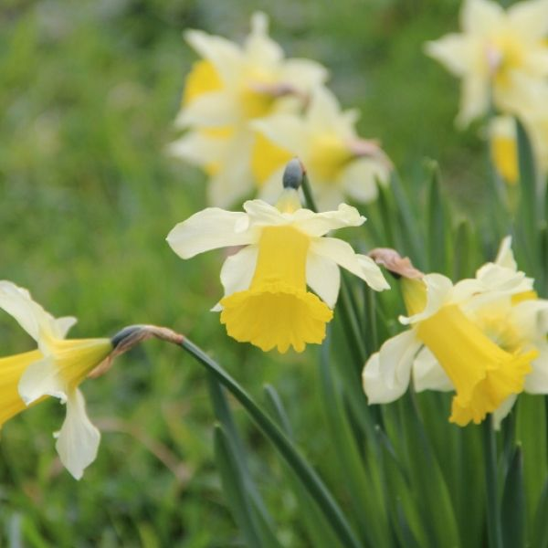 Narcissus pseudonarcissus subsp. lobularis
