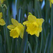 Narcissus pseudonarcissus subsp. obvallaris