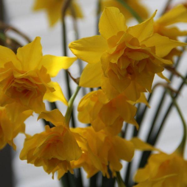 Narcissus x odorus 'Plenus'
