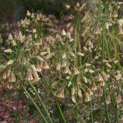 Nectaroscordum siculum subsp. bulgaricum