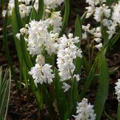 Puschkinia scilloides var. libanotica 'Alba'