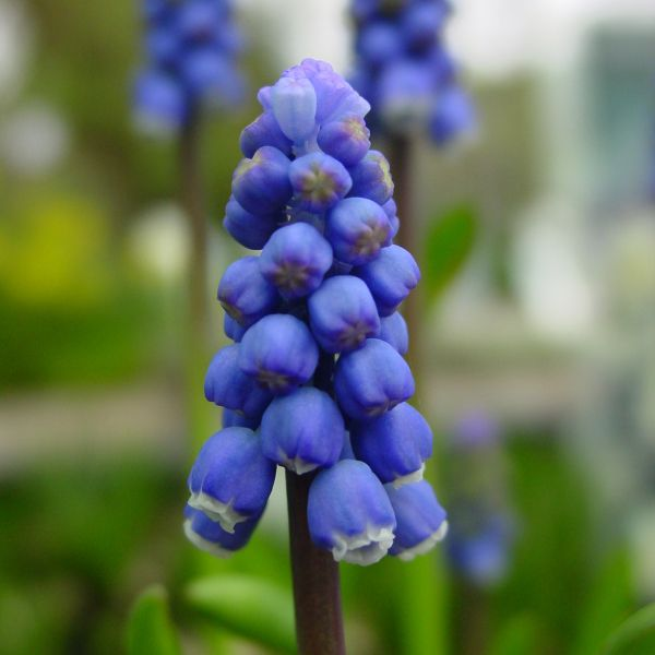 Muscari botryoides 'Superstar'