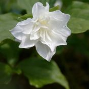 Trillium grandiflorum 'Snowbunting'