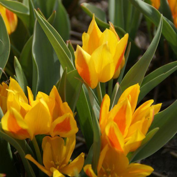Tulipa heweri