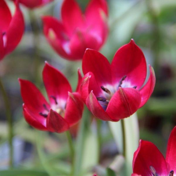 Tulipa Tiny Timo'