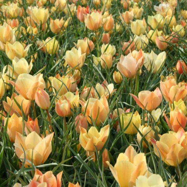 Tulipa batalinii -zaaimengsel-