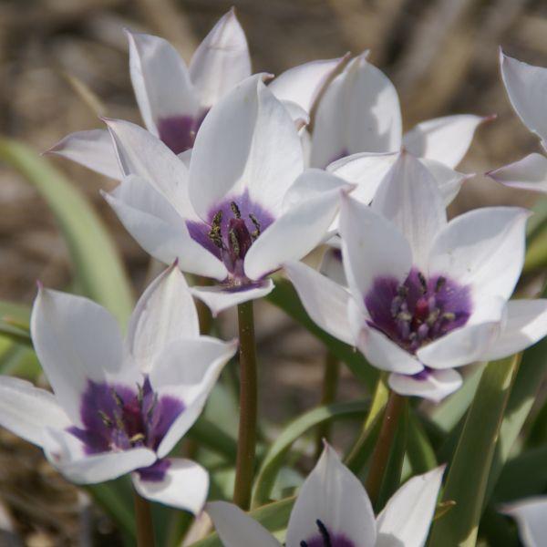 Tulipa humilis var. pulchella 'Alba Caerulea Oculata'