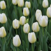 Tulipa 'Angel's Wish'