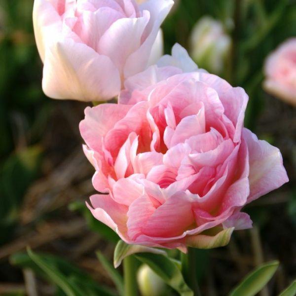 Tulipa 'Angélique'