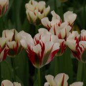 Tulipa 'Flaming Springgreen'
