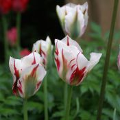Tulipa 'Flaming Springgreen'