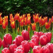Tulipa 'Fly Away'