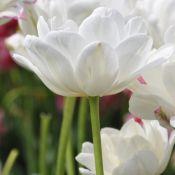 Tulipa 'Mount Tacoma'