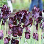 Tulipa 'Black Parrot'