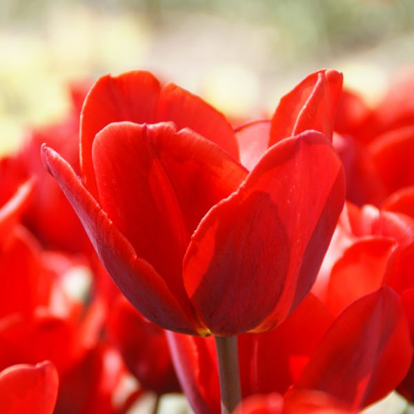 Tulipa 'Couleur Cardinal'