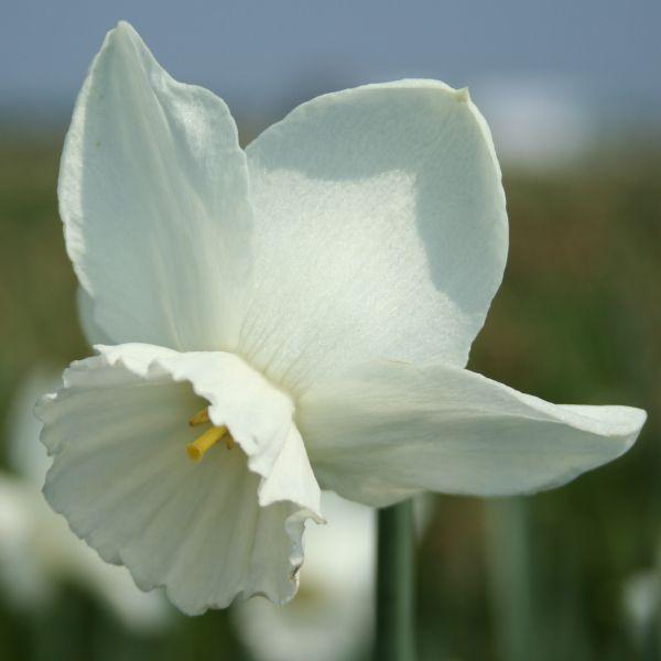 Narcissus 'Elrond'