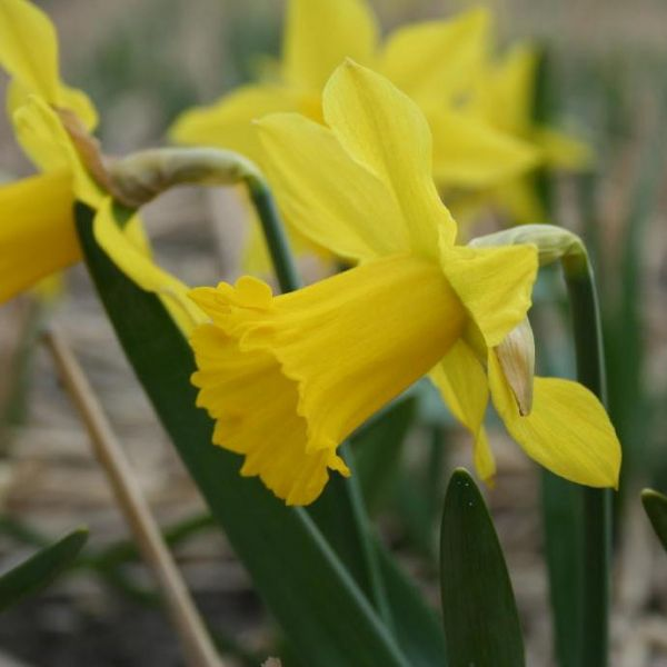 Narcissus 'First Hope'
