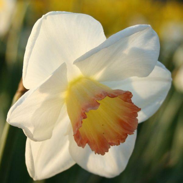 Narcissus 'Signorina'