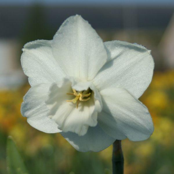 Narcissus 'Pigeon'