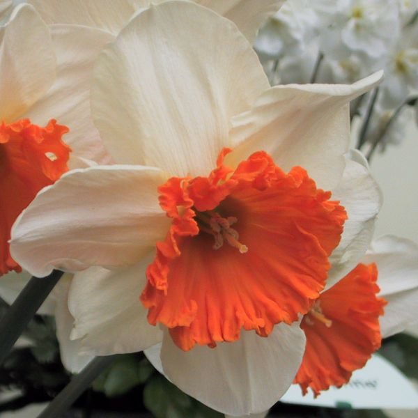 Narcissus 'Royal Orange'
