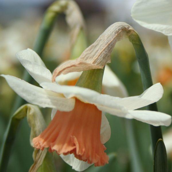 Narcissus 'Urchin'