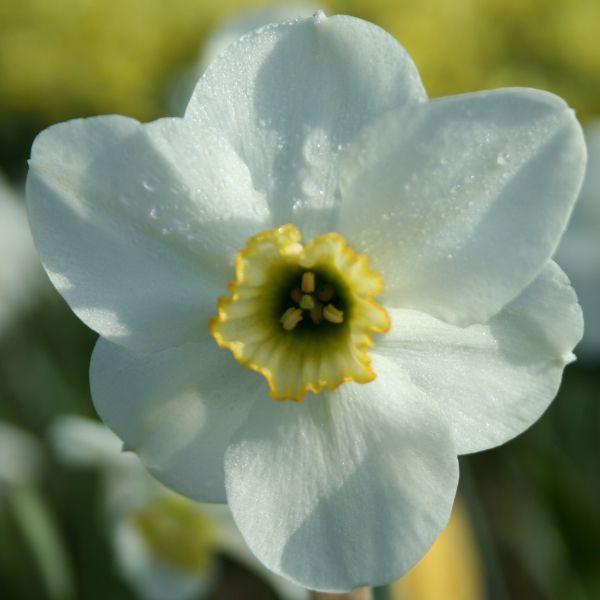 Narcissus 'Capisco'
