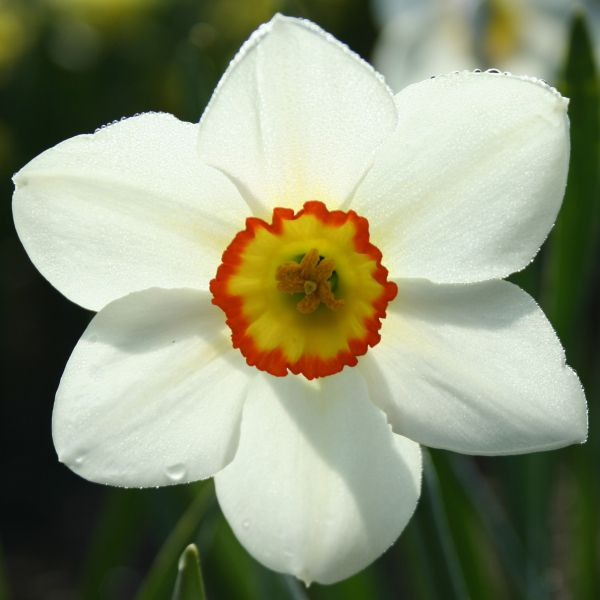 Narcissus 'Chippewa'