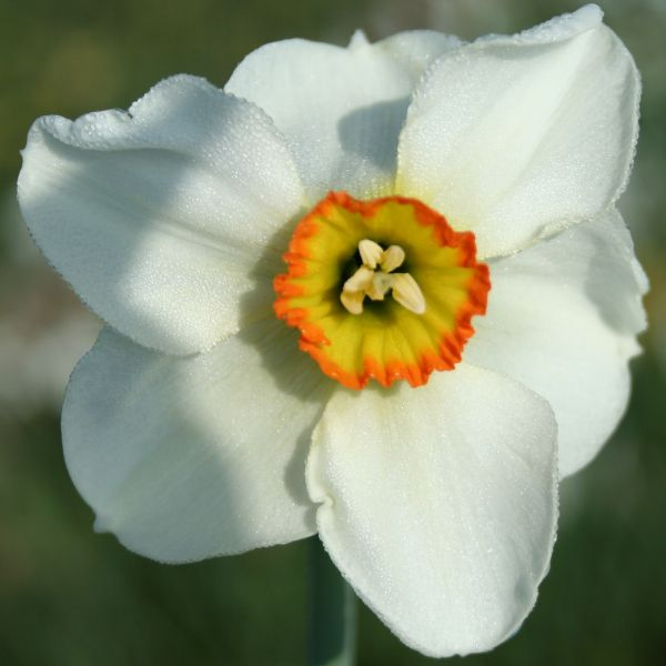 Narcissus 'Crenver'
