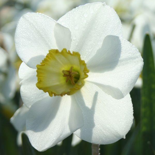 Narcissus 'Eminent'