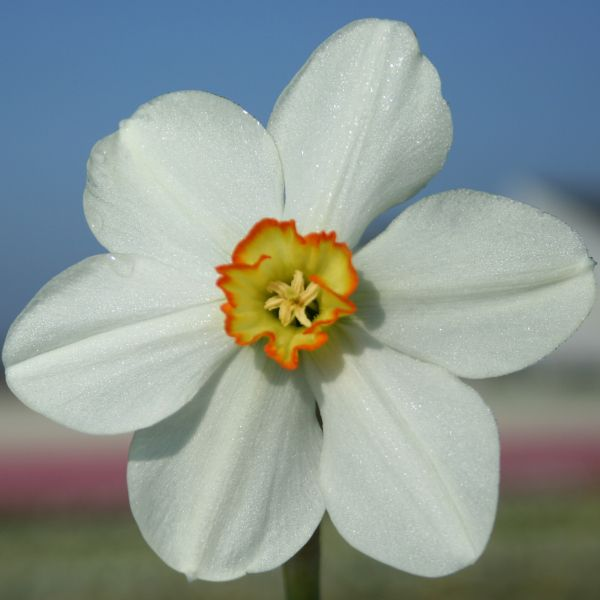 Narcissus 'Gorran'