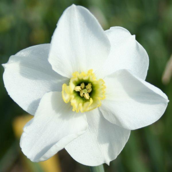 Narcissus 'Hexworthy'