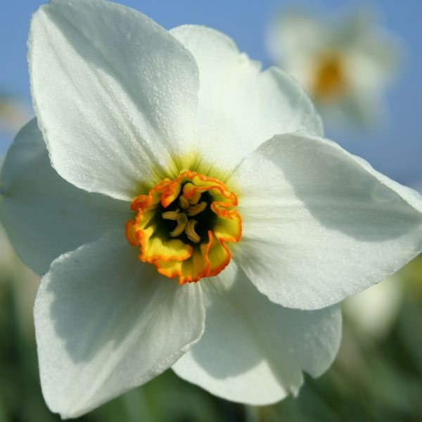 Narcissus 'Hollypark'