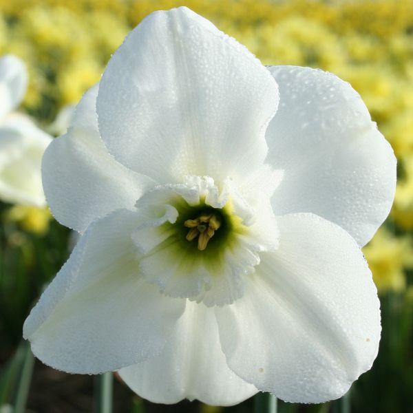 Narcissus 'Irisch Linen'