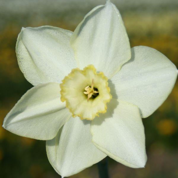 Narcissus 'Lalique'