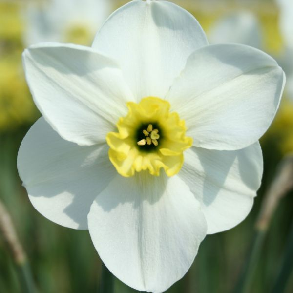Narcissus 'Oykel'